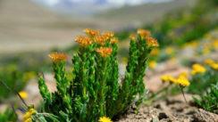 Rhodiola rosea : rosavine et salidrosides pour mieux gérer votre stress